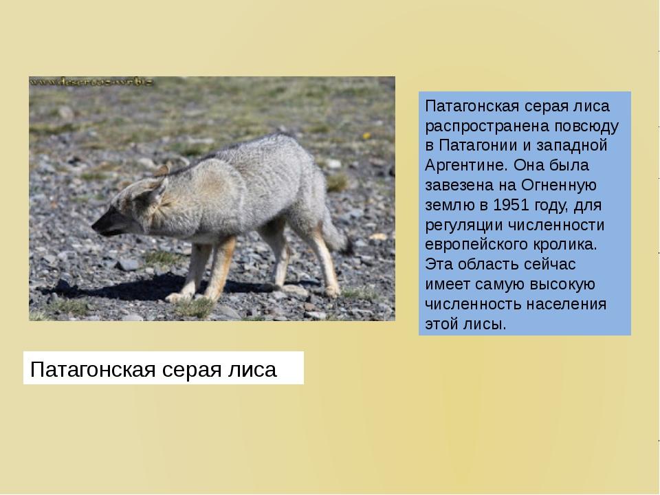 Патагонская серая лиса распространена повсюду в Патагонии и западной Аргентин...