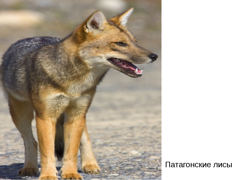 Патагонские лисы