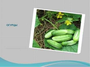 ОГУРЦЫ Зеленые огурчики являются любимым овощным растением. Хороши они и зимо