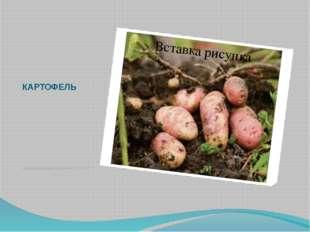 КАРТОФЕЛЬ Родиной картофеля является Южная Америка. Не сразу картофель был п