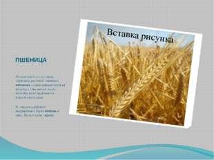 ПШЕНИЦА Второе место по посевам зерновых растений занимает пшеница - самая це