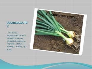 ОВОЩЕВОДСТВО   На полях выращивают много овощей: капусту, огурцы, помидор