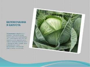 """БЕЛОКОЧАННАЯ КАПУСТА Белокочанную капусту часто называют """"королевой овощей К"""