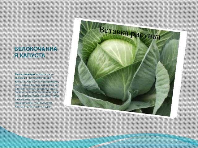 """БЕЛОКОЧАННАЯ КАПУСТА Белокочанную капусту часто называют """"королевой овощей К..."""
