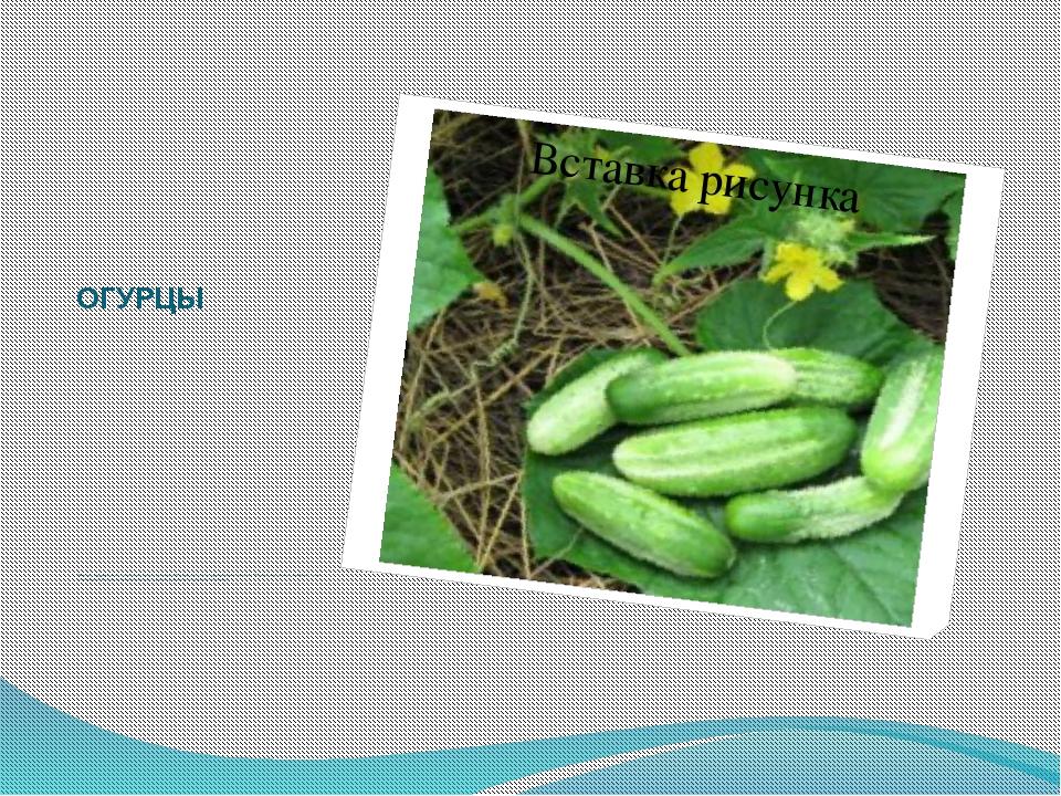 ОГУРЦЫ Зеленые огурчики являются любимым овощным растением. Хороши они и зимо...