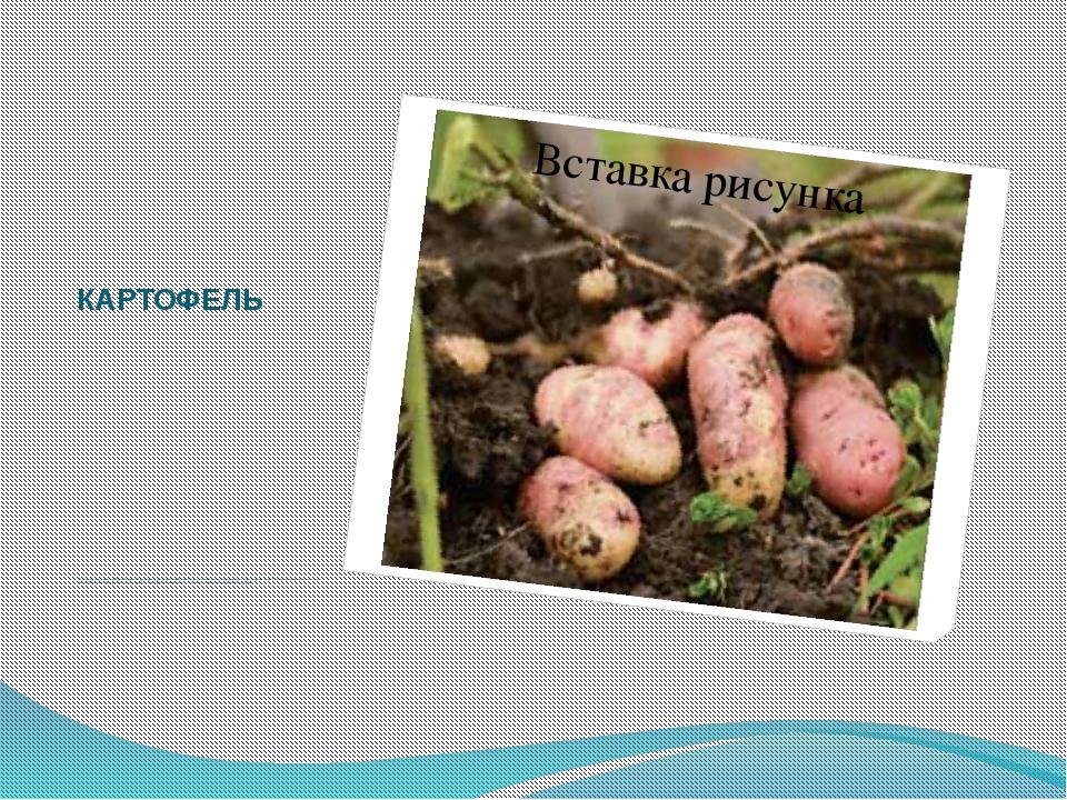 КАРТОФЕЛЬ Родиной картофеля является Южная Америка. Не сразу картофель был п...