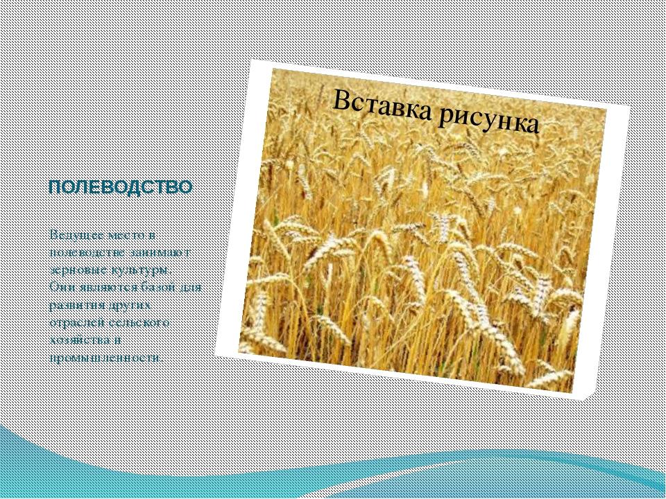 ПОЛЕВОДСТВО Ведущее место в полеводстве занимают зерновые культуры. Они являю...