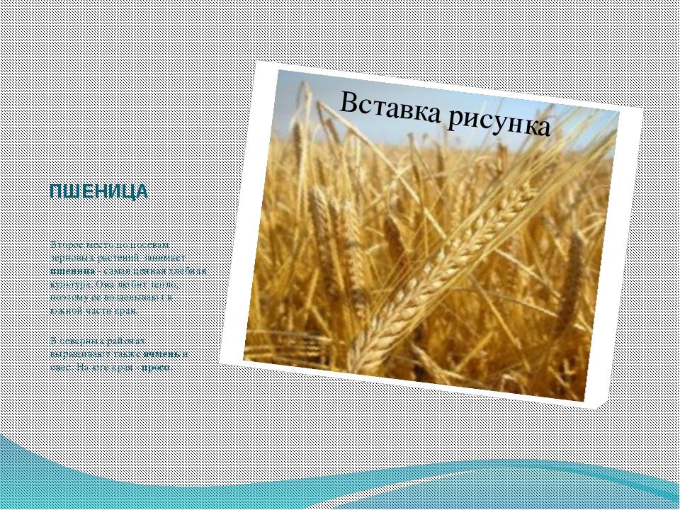 ПШЕНИЦА Второе место по посевам зерновых растений занимает пшеница - самая це...