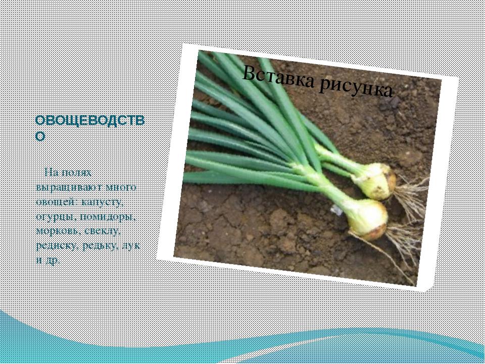 ОВОЩЕВОДСТВО   На полях выращивают много овощей: капусту, огурцы, помидор...