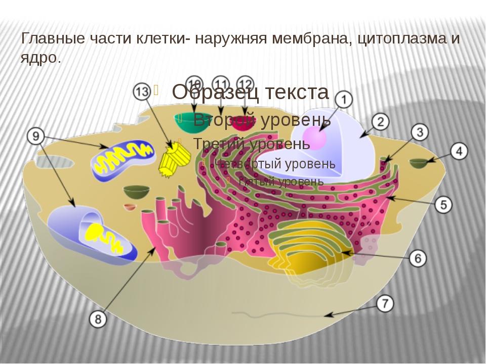 Главные части клетки- наружняя мембрана, цитоплазма и ядро.