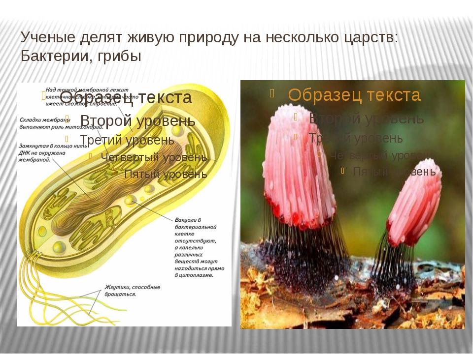 Ученые делят живую природу на несколько царств: Бактерии, грибы