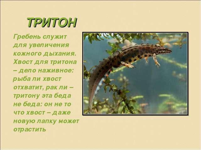 ТРИТОН Гребень служит для увеличения кожного дыхания. Хвост для тритона – дел...