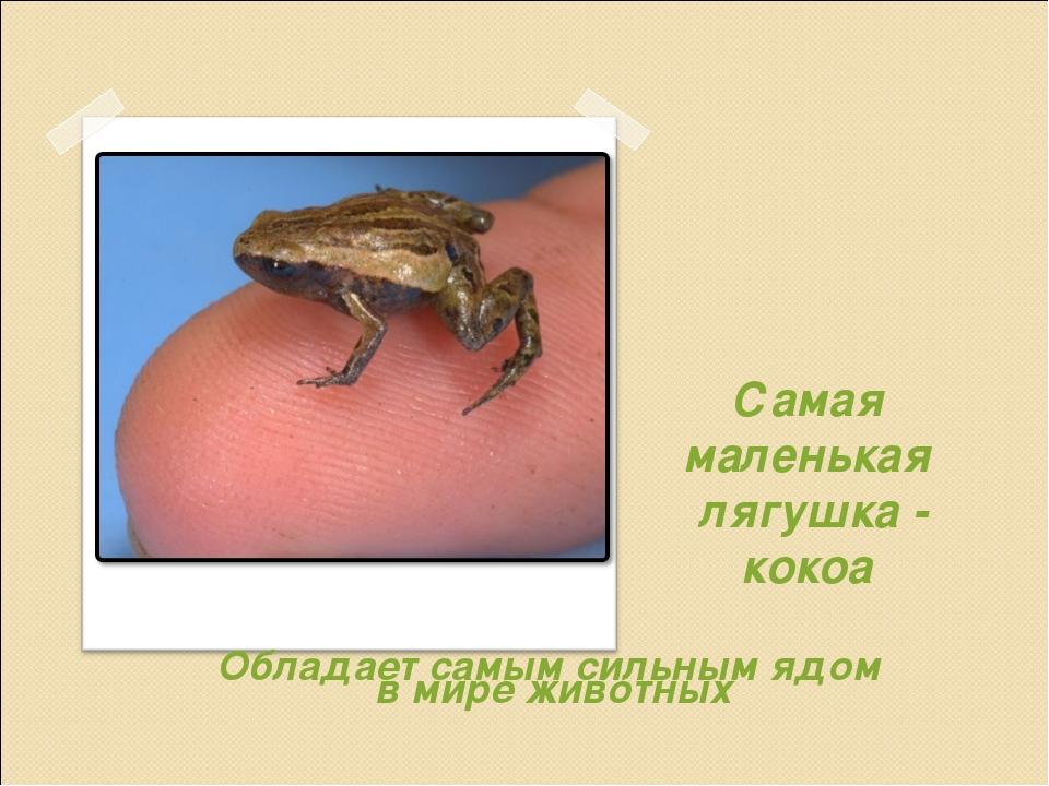 Самая маленькая лягушка - кокоа Обладает самым сильным ядом в мире животных