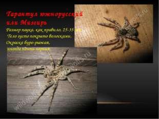 Тарантул южнорусский или Мизгирь  Размер паука, как правило, 25-35 мм. Тело
