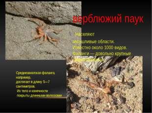 верблюжий паук Населяют засушливые области. Известно около 1000 видов. Фала