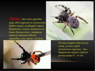 Эрезус. Это очень красивый паук, своей окраской он напоминает бравого гусара