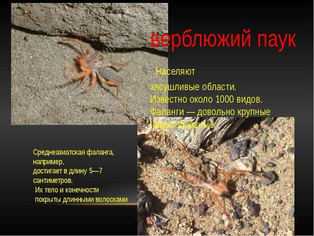 верблюжий паук Населяют засушливые области. Известно около 1000 видов. Фала...