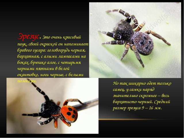 Эрезус. Это очень красивый паук, своей окраской он напоминает бравого гусара...