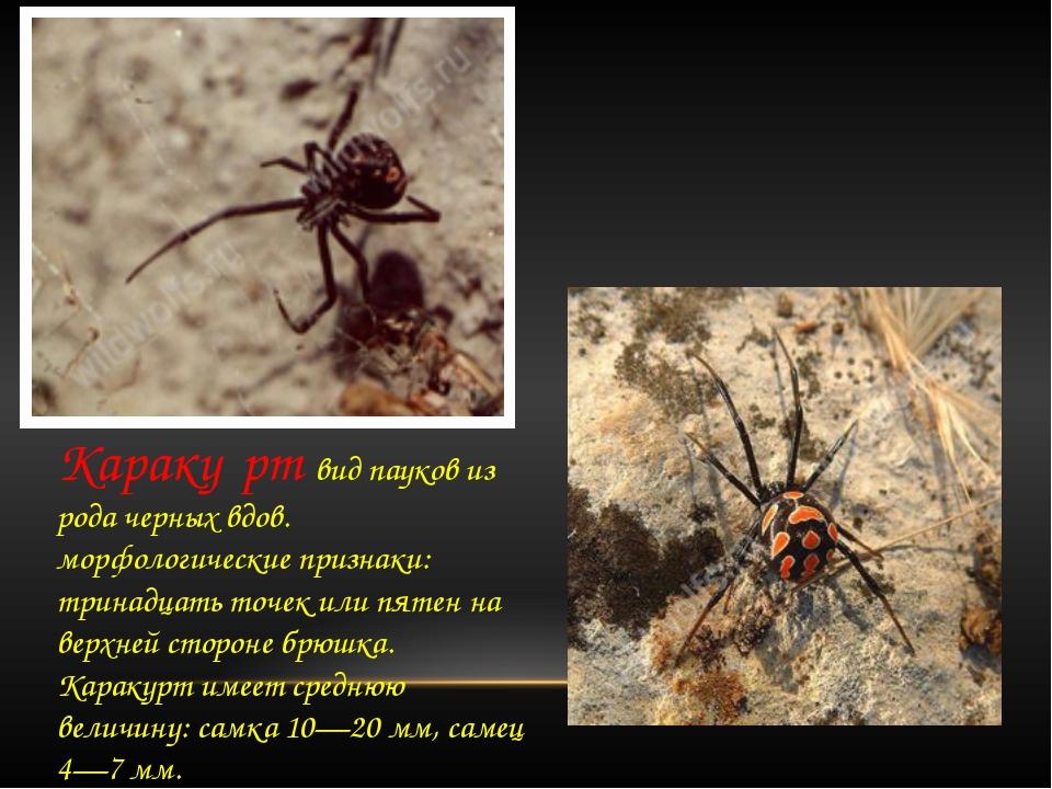 Караку́рт вид пауков из рода черных вдов. морфологические признаки: тринадца...