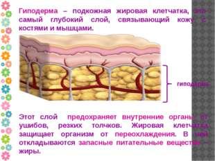 Гиподерма – подкожная жировая клетчатка, это самый глубокий слой, связывающий