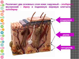 Различают два основных слоя кожи: наружный – эпидермис, внутренний – дерму и
