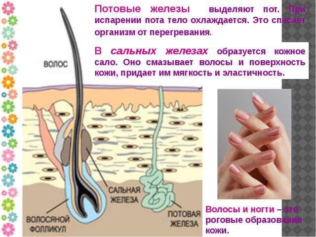 Потовые железы выделяют пот. При испарении пота тело охлаждается. Это спасает...