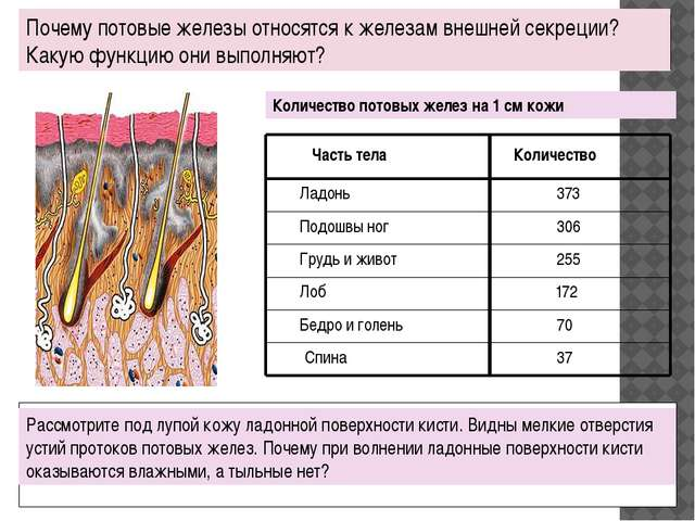 Почему потовые железы относятся к железам внешней секреции? Какую функцию он...