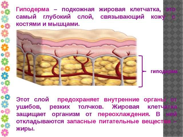 Гиподерма – подкожная жировая клетчатка, это самый глубокий слой, связывающий...