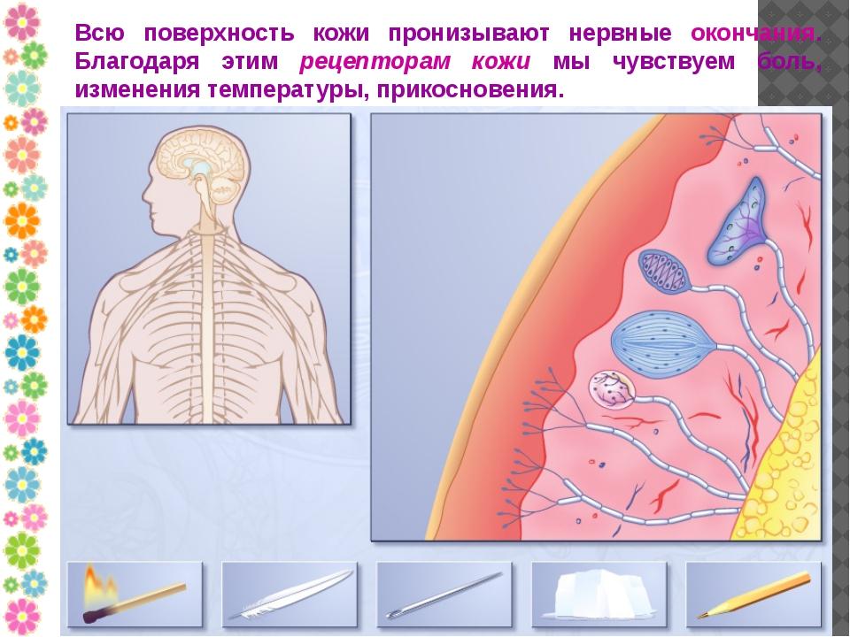 Всю поверхность кожи пронизывают нервные окончания. Благодаря этим рецепторам...