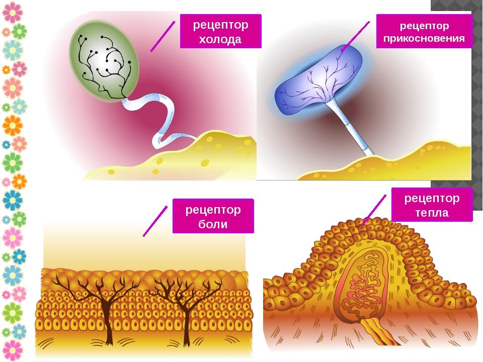 рецептор холода рецептор прикосновения рецептор боли рецептор тепла