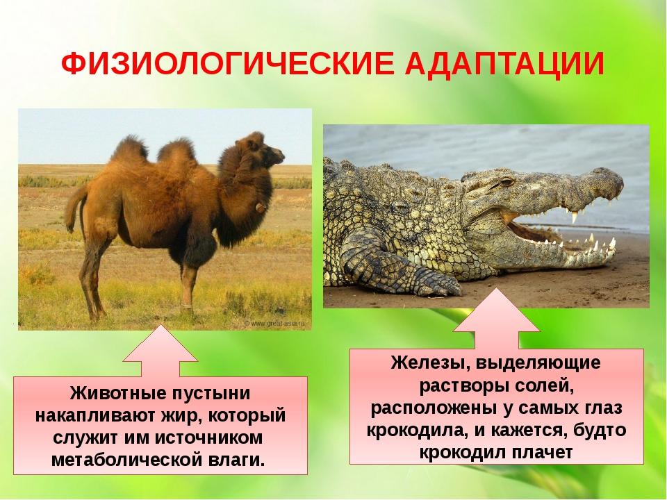 ФИЗИОЛОГИЧЕСКИЕ АДАПТАЦИИ Животные пустыни накапливают жир, который служит им...