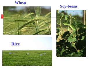 Wheat Soy-beans Rice