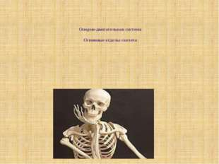 Опорно-двигательная система Основные отделы скелета