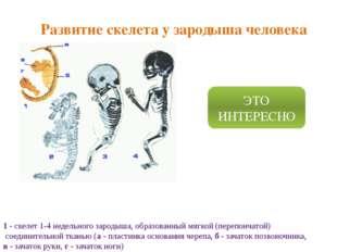 Развитие скелета у зародыша человека 1 - скелет 1-4 недельного зародыша, обра