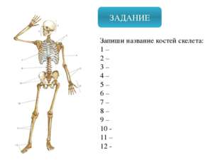 ЗАДАНИЕ Запиши название костей скелета: 1 – 2 – 3 – 4 – 5 – 6 – 7 – 8 – 9 – 1