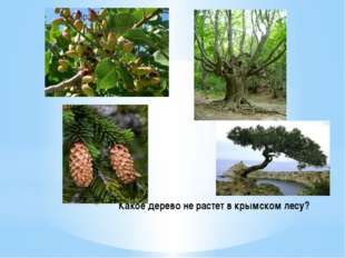 Какое дерево не растет в крымском лесу?