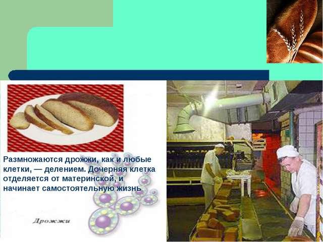Размножаются дрожжи, как и любые клетки, — делением. Дочерняя клетка отделяет...