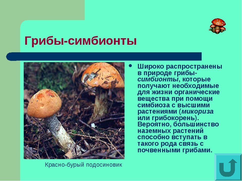 Грибы-симбионты Широко распространены в природе грибы-симбионты, которые полу...