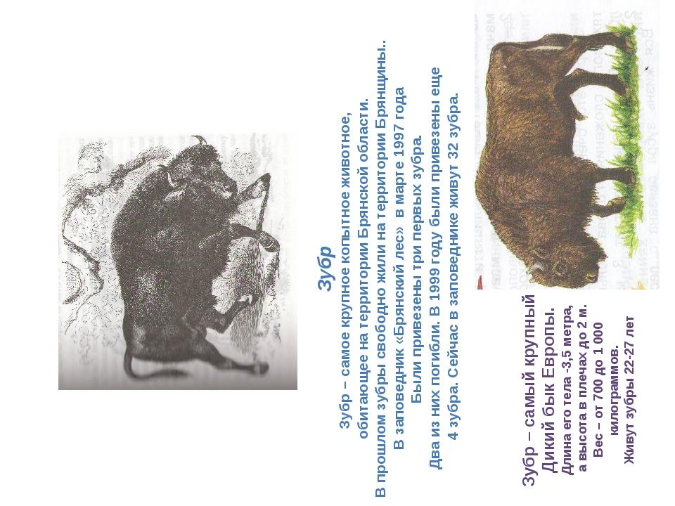 Зубр Зубр – самое крупное копытное животное, обитающее на территории Брянской...