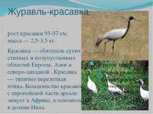 Журавль-красавка рост красавки 95-97 см, масса — 2,5-3,5 кг. Красавка — обита
