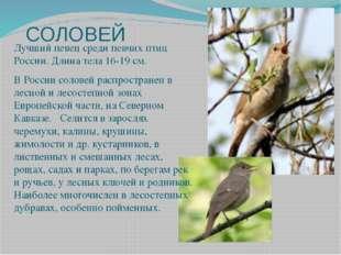 СОЛОВЕЙ Лучший певец среди певчих птиц России. Длина тела 16-19 см. В России