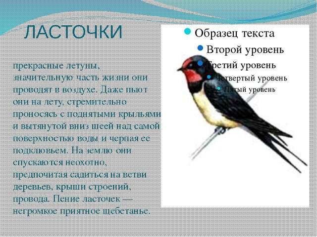 ЛАСТОЧКИ прекрасные летуны, значительную часть жизни они проводят в воздухе....
