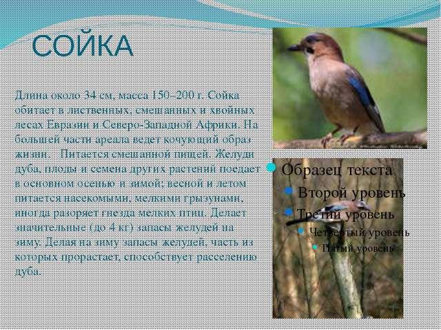 СОЙКА Длина около 34 см, масса 150–200 г. Сойка обитает в лиственных, смешанн...