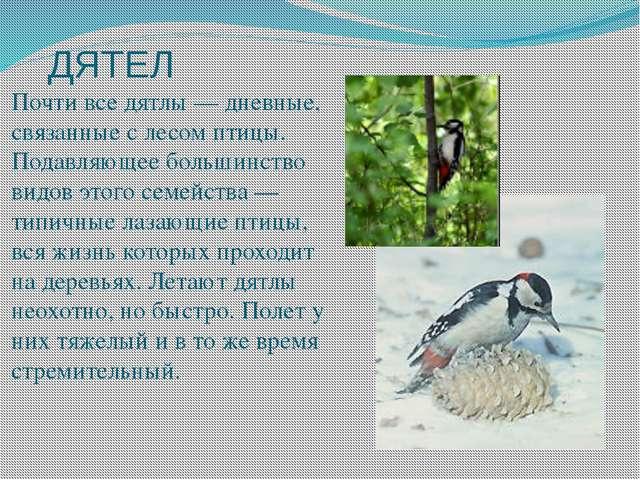 ДЯТЕЛ Почти все дятлы — дневные, связанные с лесом птицы. Подавляющее большин...