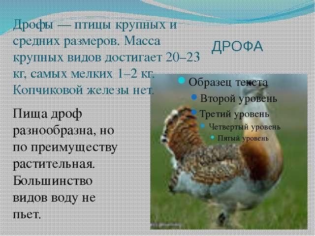 ДРОФА Дрофы — птицы крупных и средних размеров. Масса крупных видов достигает...