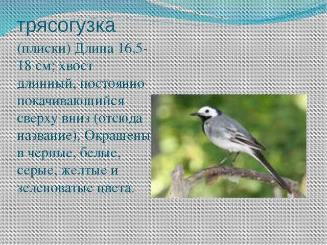 трясогузка (плиски) Длина 16,5-18 см; хвост длинный, постоянно покачивающийся...