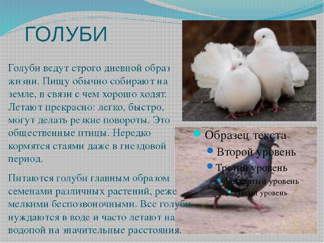 ГОЛУБИ Голуби ведут строго дневной образ жизни. Пищу обычно собирают на земле...