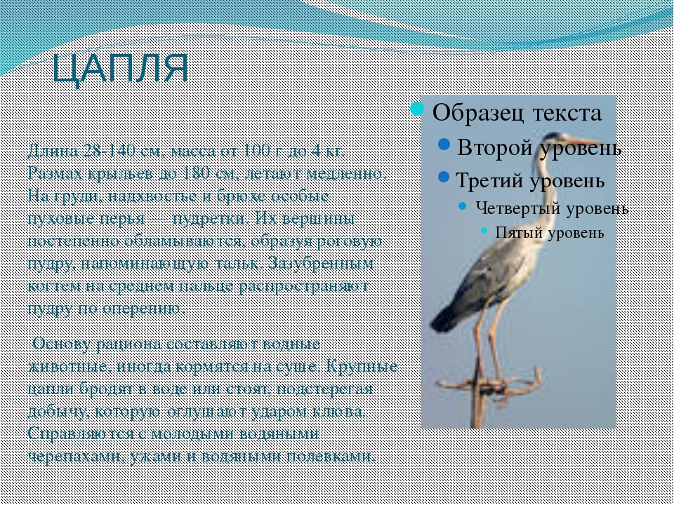ЦАПЛЯ Длина 28-140 см, масса от 100 г до 4 кг. Размах крыльев до 180 см, лета...