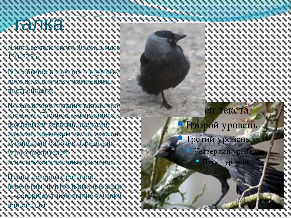 галка Длина ее тела около 30 см, а масса 130-225 г. Она обычна в городах и кр...