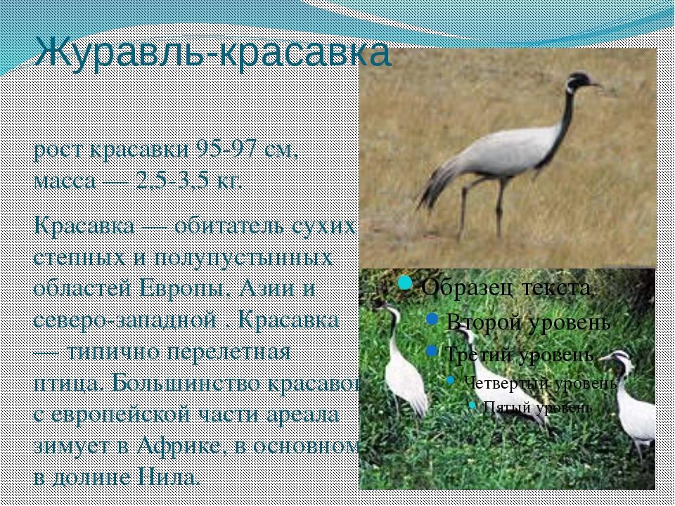 Журавль-красавка рост красавки 95-97 см, масса — 2,5-3,5 кг. Красавка — обита...